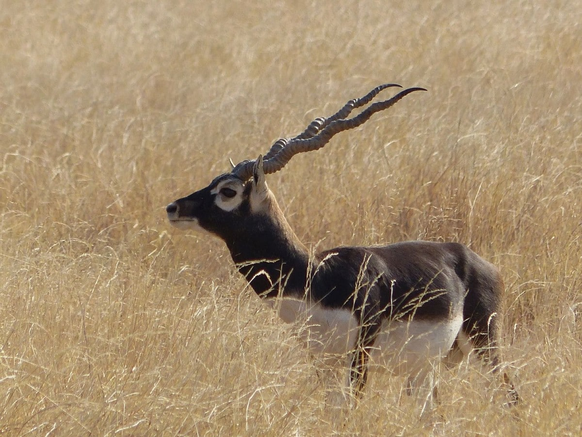 Hirschziegen Antilope (Blackbuck)