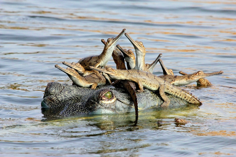 """""""Mother's little headful"""" - Young Wildlife Photographer of the Year 2013 © Udayan Rao Pawar (India)."""