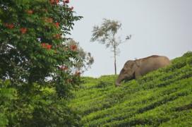 Ein Elefant in einer Teeplantage in Kerala. © Foto: COMTOUR