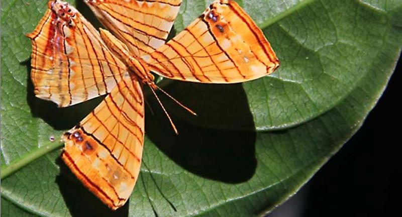 Einer der seltenen Schmetterlingsarten (Chersonesia risa) des Namdapha Regenwaldes. Foto: Kipepeo