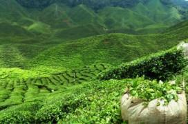 Teegaerten