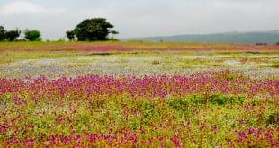 Kaas Plateau Maharashtra