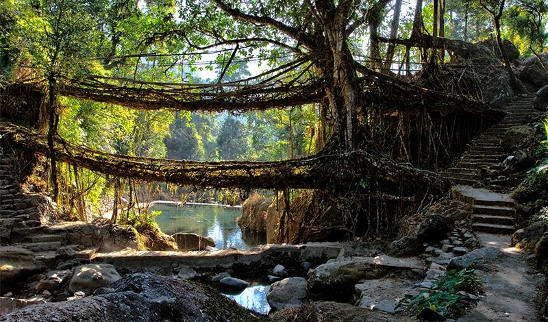 Hierfür ist Meghalaya bekannt: Brücken aus lebenden Luftwurzeln. Foto: Ashwin Mudigonda