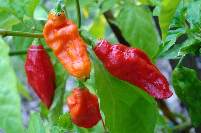 Die Naga Mircha, eine sehr scharfe Chili