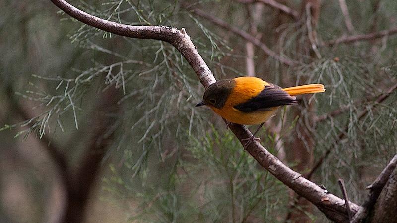 Auch der Orangeschnäpper ist in Indien endemisch. Foto: Bird Brain