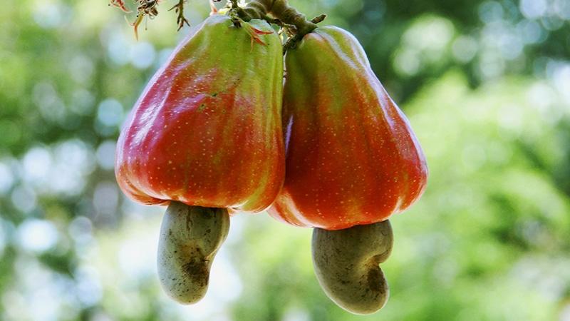 So sehen Cashew-Früchte am Baum aus. Foto: Hudson
