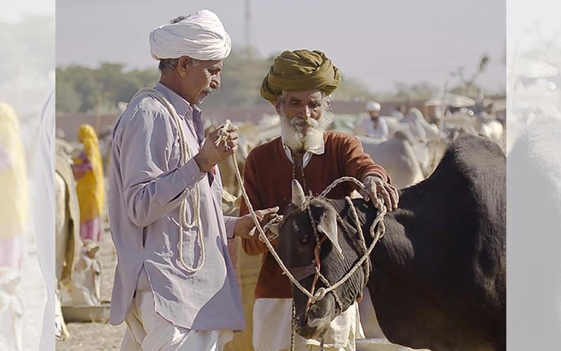 Feilschen um den besten Preis - der Viehmarkt in Nagaur. Foto: jack Wickes