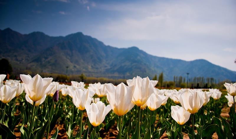 Tulpen in Kaschmir. Foto: Jatin Shah