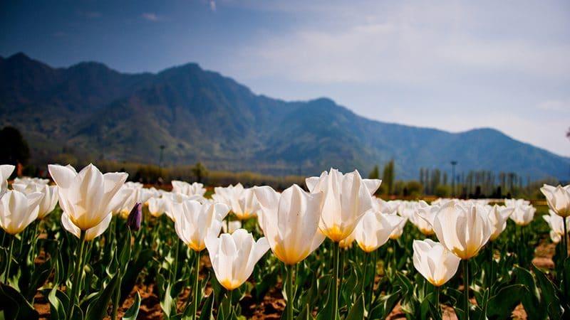 Tulpenfestival in Srinagar