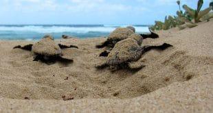 Die frisch geschlüpften Schildkröten auf dem Weg zum Meer. Foto: Jeroen Looye