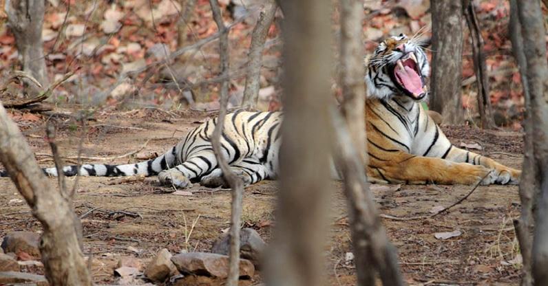Da kann der Tiger ausschlafen, wenn die Nationalparks morgens geschlossen bleiben. Foto: Koshy
