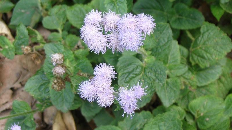 Leberbalsam (Ageratum conyzoides) tut gut gegen Magenverstimmungen. Foto: Minghong