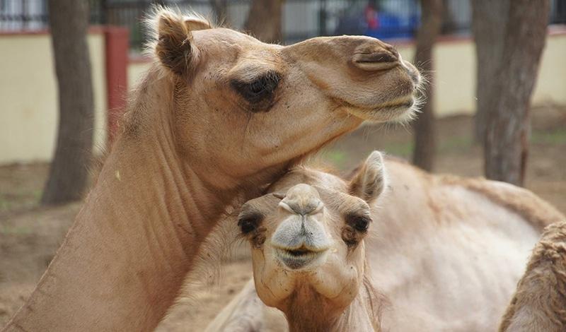 Kamele stehen im Mittelpunkt der Bikaner Camel Fair. Foto: Nadine Hudson