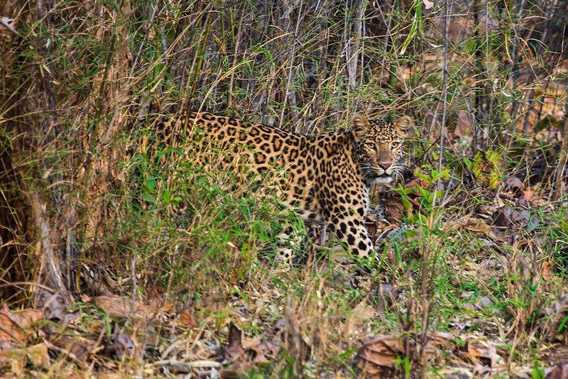 Leopard im Tadoba Nationalpark. Foto: Njanansundadara PT