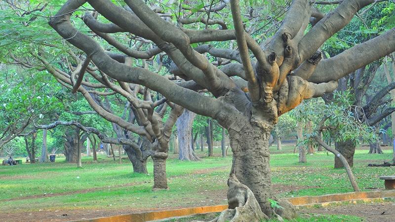 Gulmohar-Baum im Cubbon Park in Bengaluru. Foto: Parshotam Lal Tandon
