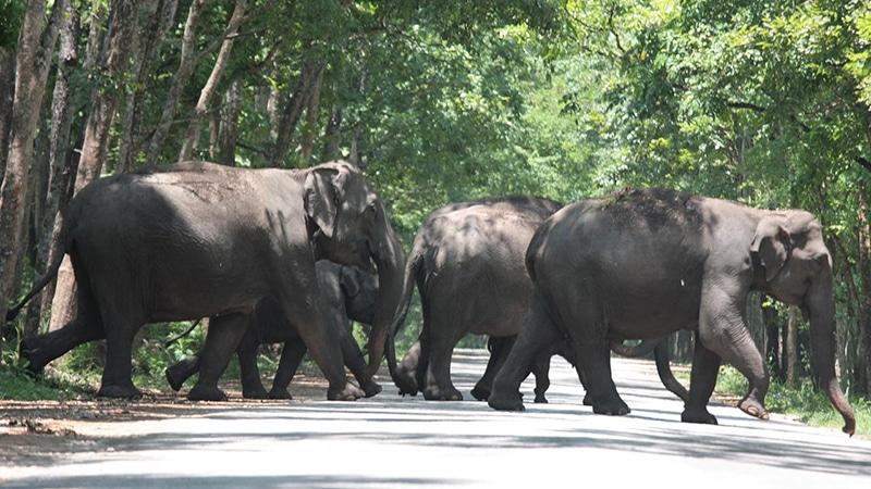 Elefanten kreuzen den Weg. Foto: Rajesh Balakrishnan