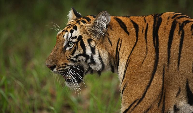Tiger im Tandoba-Andhari Tigerreservat