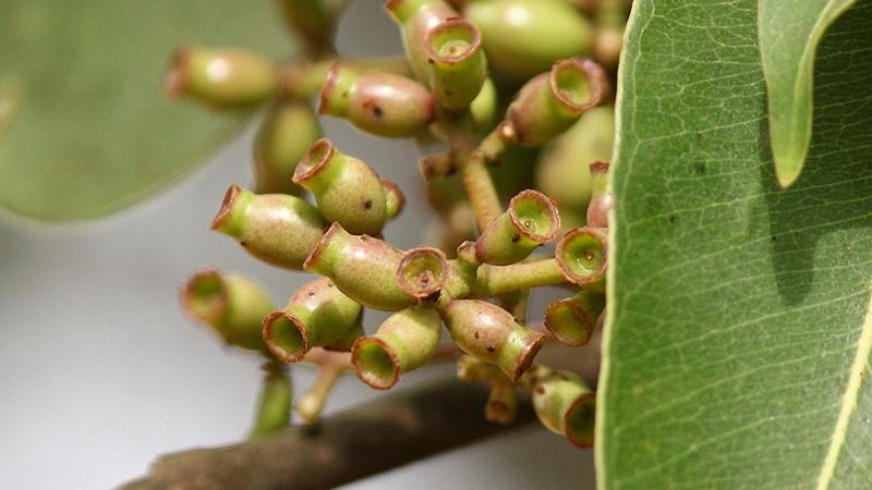 Die Samen des Jambulbaums (Syzygium cumini) helfen als Pulver gegen Durchfall, Ruhr und Diabetes. Foto: Satish Nikam