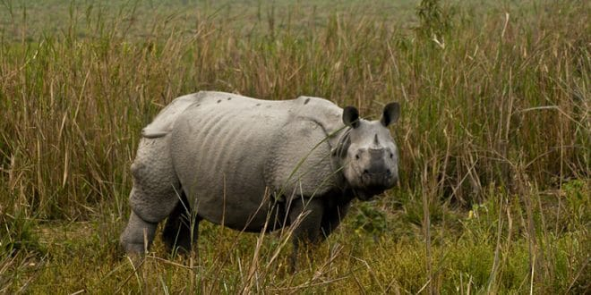 Nashorn Kaziranga Nationalpark