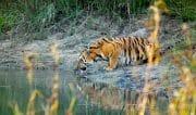 ccl_Sumeet-Moghe_Tiger-Express_web