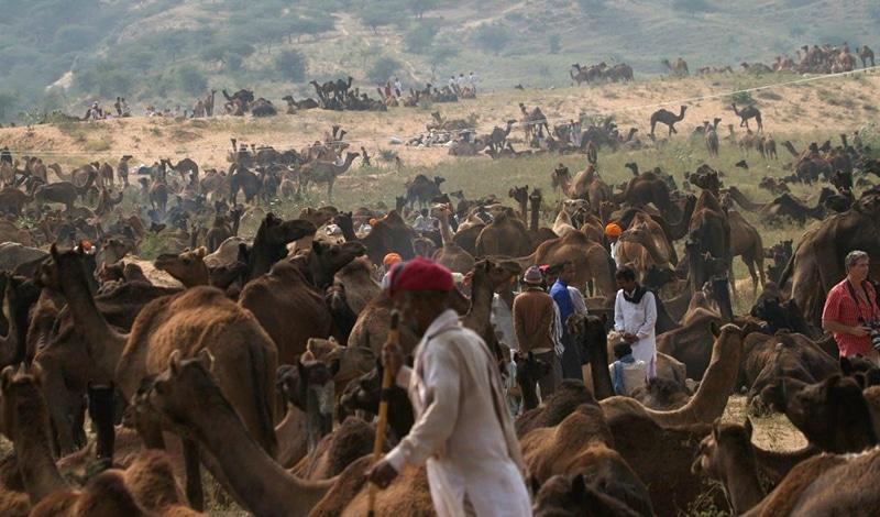 Kamele so weit das Auge blicken kann. Foto: Swati Kulkarni