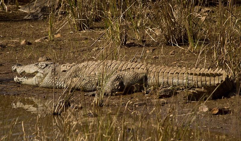 Sumpfkrokodil im Tadoba Nationalpark. Foto: Swati Kulkarni