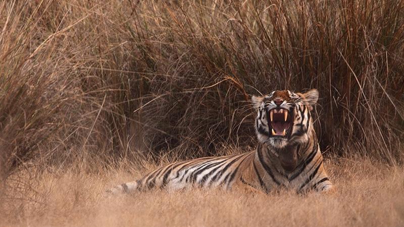 Tigerin nach dem Mittagsschlaf. Foto: Tarique Sani