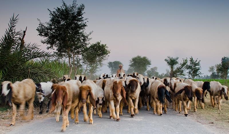 Ziegenherde auf dem Weg zum Fluss Chenab. Foto: Umair