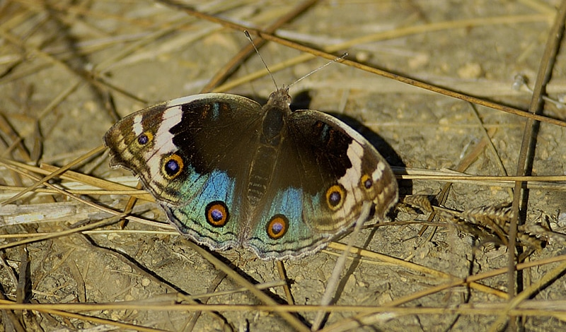 Butterfly Sikkim