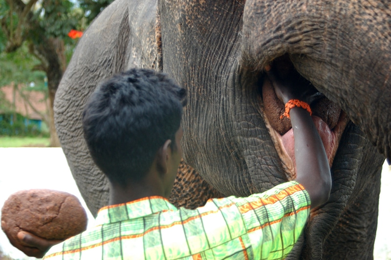 Elefanten werden in Kerala sehr geschätzt - und bekommen häufiger mal eine Leckerei. Foto: Diana
