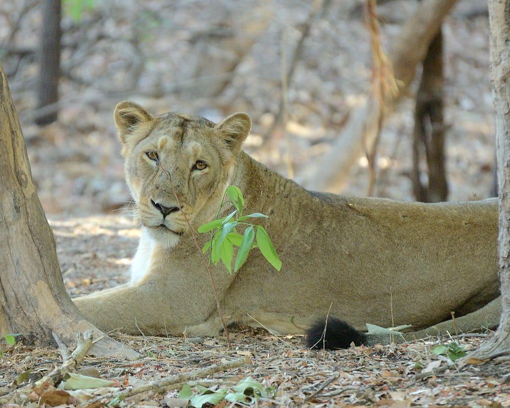 Löwe im Gir Nationalpark. Foto: Kishore Bhargava