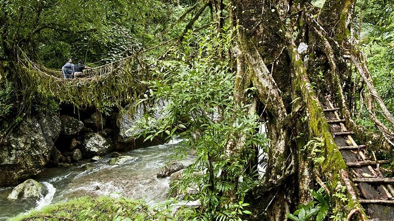 Eine der lebenden Wurzelbrücken in Meghalaya. Foto: T. Saldanaha