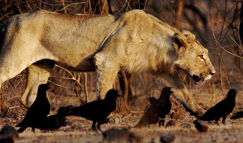Eine Löwin, die der Fotograf bei der jüngsten Populationszählung in Gujarat vor die Linse bekam. Foto: vaidyarupal