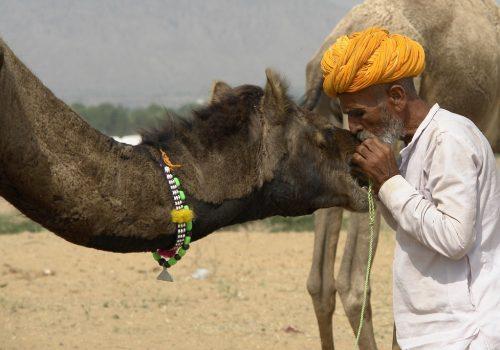 Hochzeitssaison - Pushkar Camel Fair