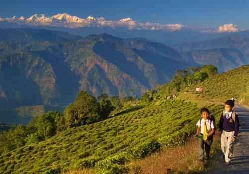 Ein Blick über Teefelder auf den Kanchenjunga in Darjeeling. Foto: Daniel Peckham