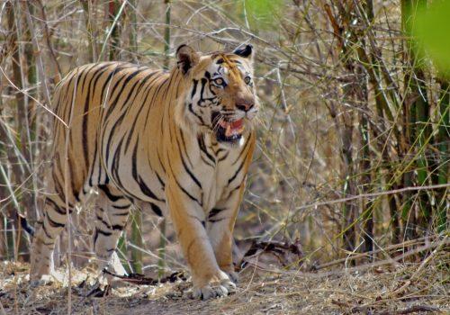 Ein Königstiger im Bandhavgarh Nationalpark. Foto: elkhiki