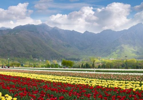 Tulpenfelder in Jammu und Kashmir