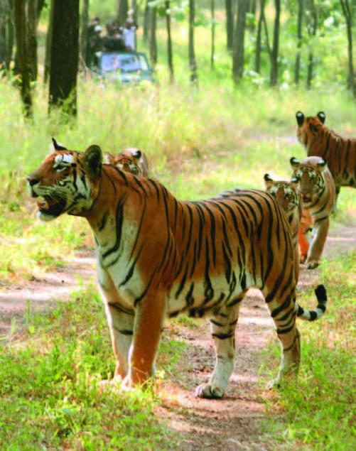 Begegnung mit dem König der Tiere in Indiens Wäldern, Foto: Madhya Pradesh Tourism